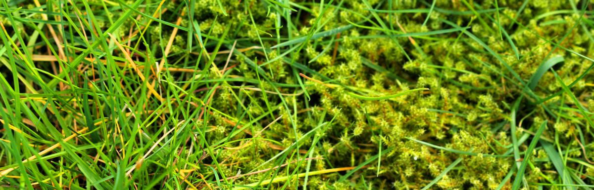 Lawn in serious need of moss killer. Moss in lawn is very overgrown