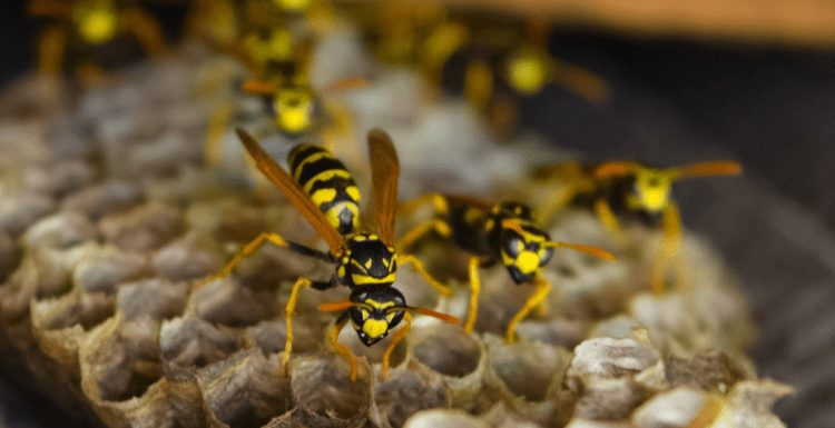 Featured image for a piece on How to Kill Wasps With Vinegar featuring a number of the insects on their hive