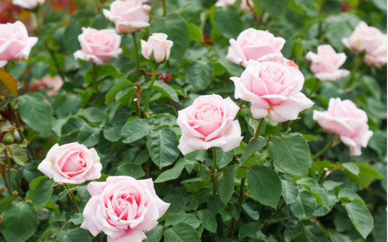 Hybrid tea rose type with lots of pink blooms on top of green leaves