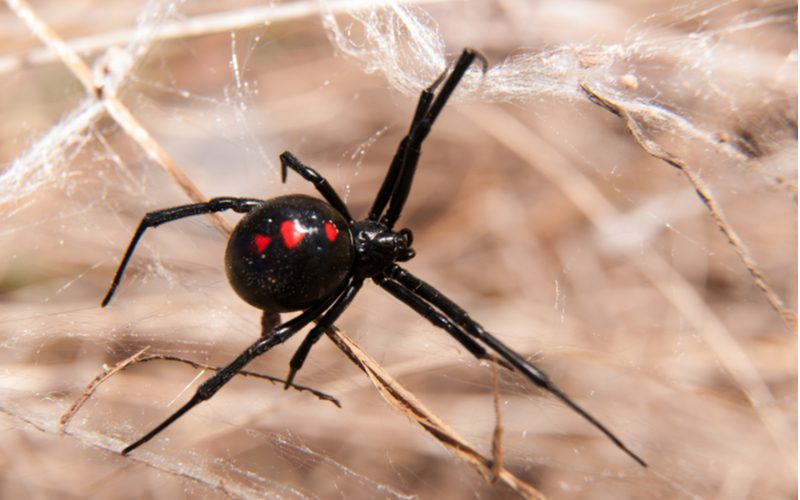 Black widow spider sits on a leaf and a web
