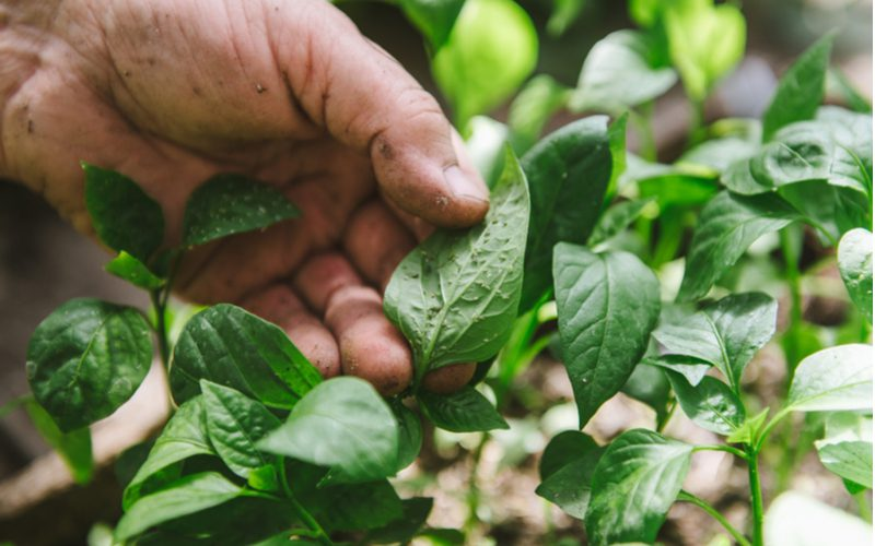 Man picking aphids off of a green pepper plant