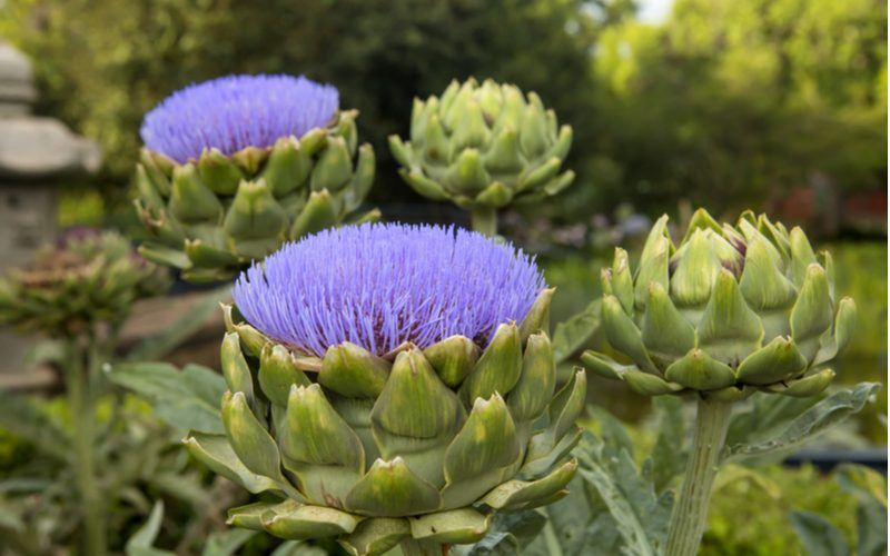 Artichokes in a flower bed next to vegetation for a piece on flower bed ideas